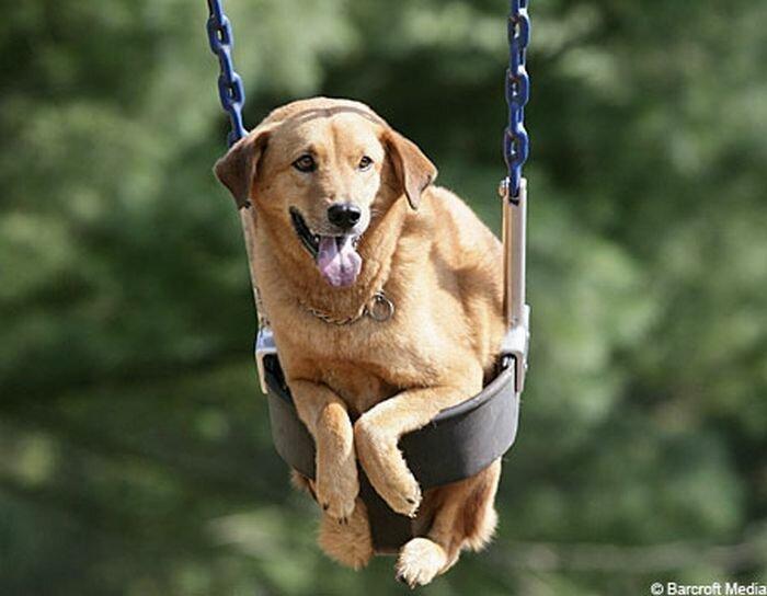 Доберман фото собаки описание очень