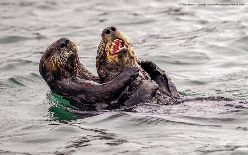 «Бой с помощью щекотки между морскими выдрами» в мире, животные, забавно, подборка, смешно, юмор