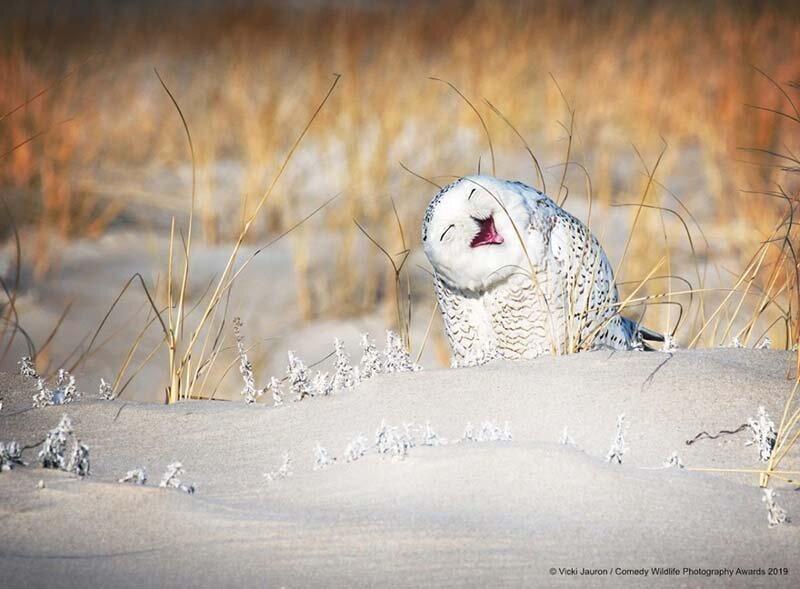 «Весёлая белая сова» в мире, животные, забавно, подборка, смешно, юмор