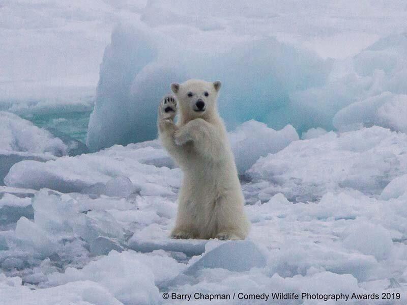 «Приветствие белого медвежонка» в мире, животные, забавно, подборка, смешно, юмор
