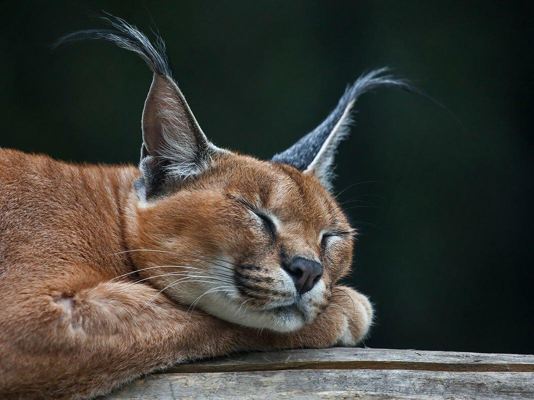 коты с кисточками на ушах фото будем