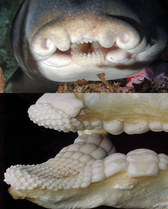 Челюсти австралийской рогатой акулы