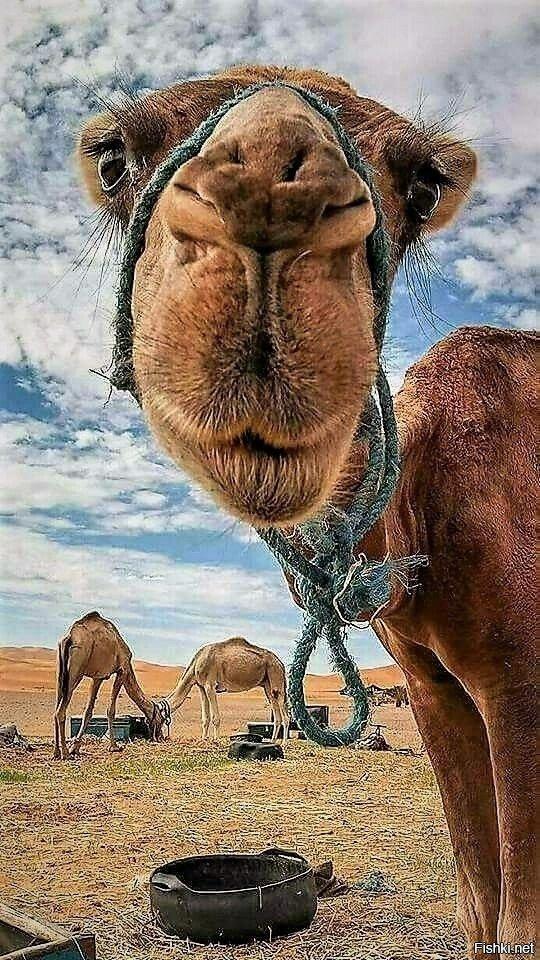 Верблюд смешной картинки