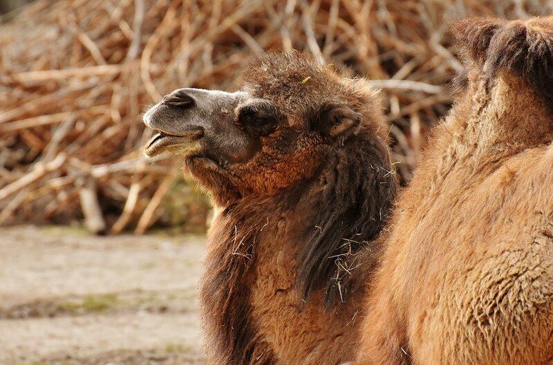 Почему у верблюда горб?