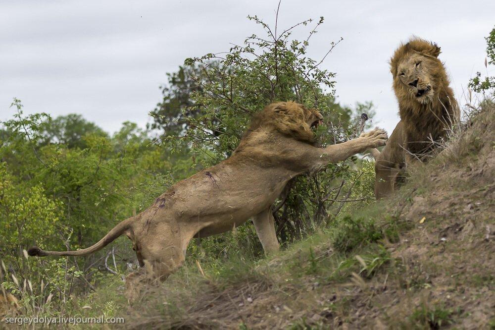 Онлайн видео фильмы про африканских львов 5