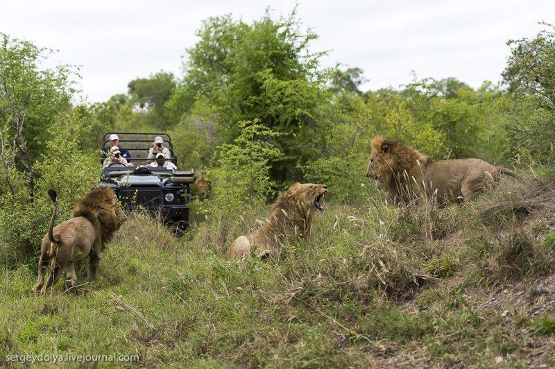 Онлайн видео фильмы про африканских львов 6
