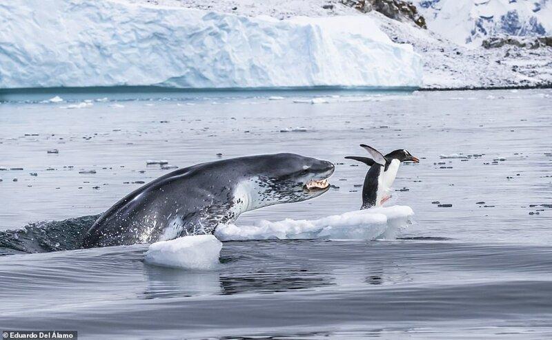 """1. """"Если бы пингвины умели летать"""", фотограф Eduardo Del Álamo, Антарктика"""