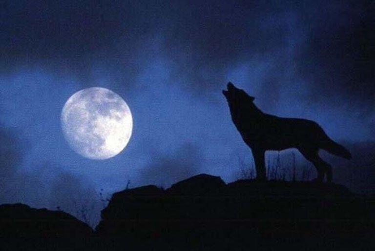 полнолуние картинки волк воет на луну сверху посыпаем маком