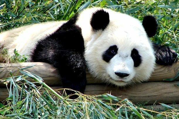 3. Какую еду большие панды предпочитают любой другой?