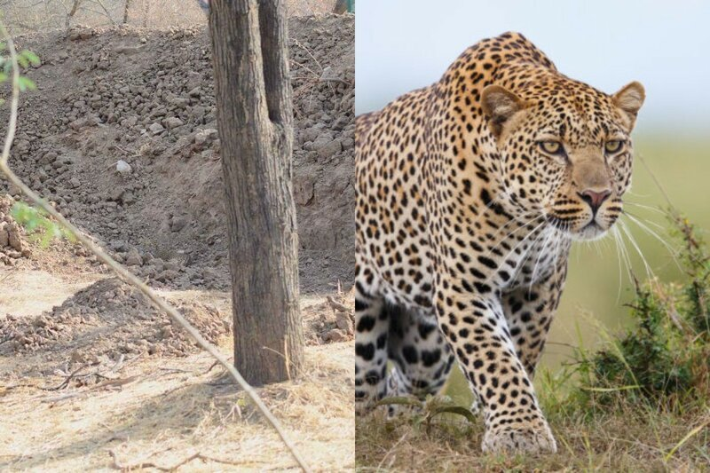 Картинка найти леопарда, днем