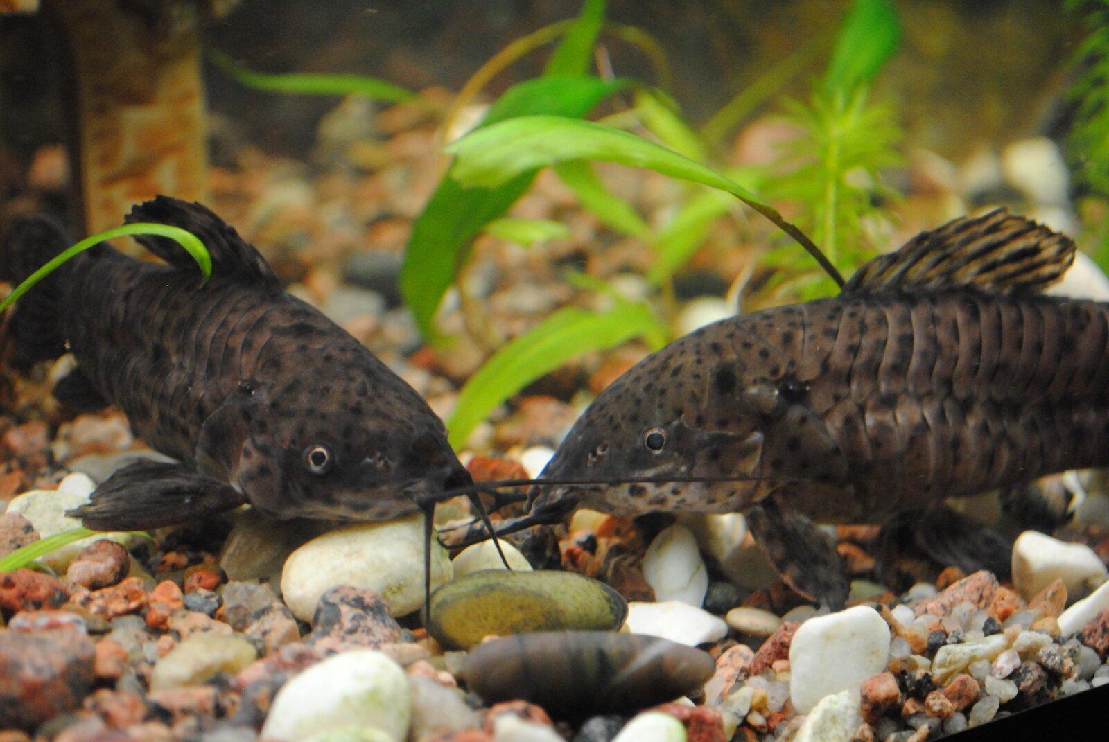 виды сомиков в аквариуме фото выглядят чуть более
