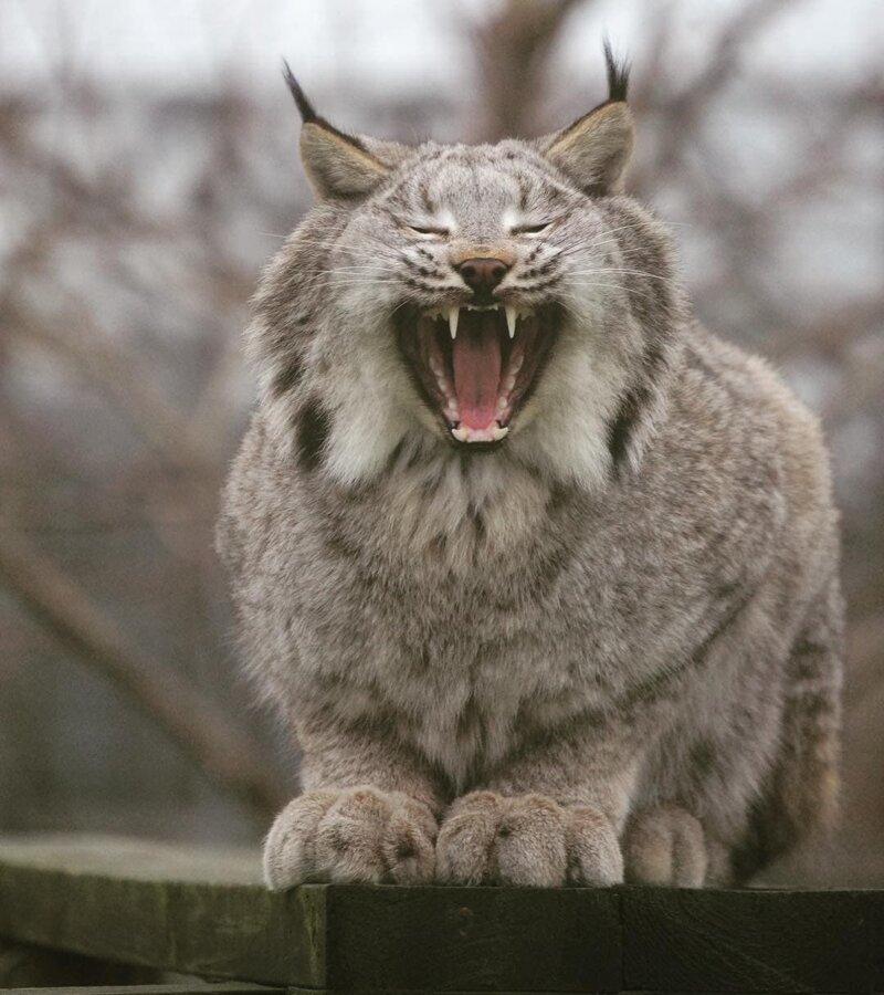 26 фотографий величественных канадских рысей — кошек с самыми мягкими и пушистыми лапищами