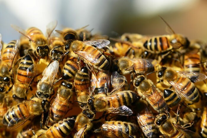 Пчелы признаны самыми важными существами на Земле