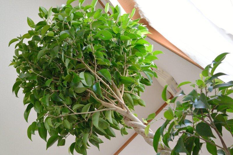 Фикус бальзамина опадают листья