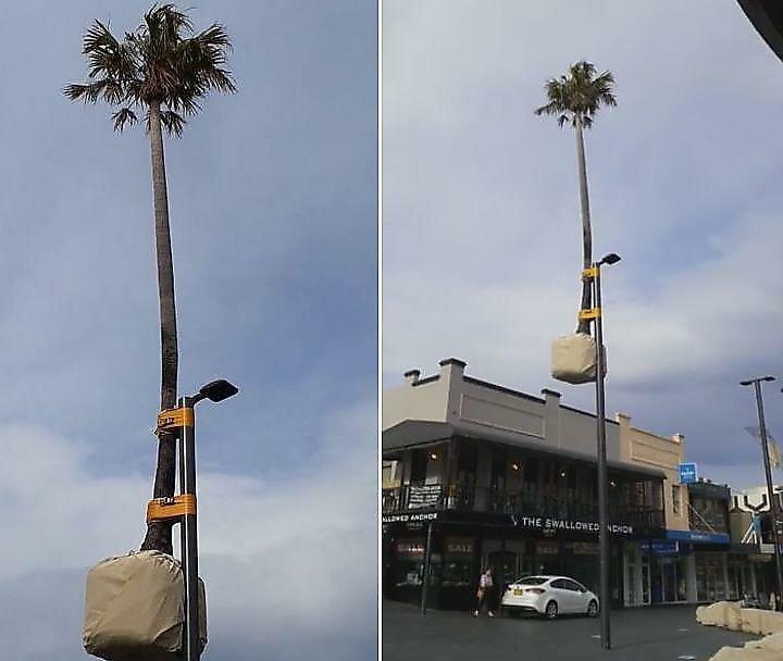 Австралийские креативщики примотали пальму к фонарному столбу