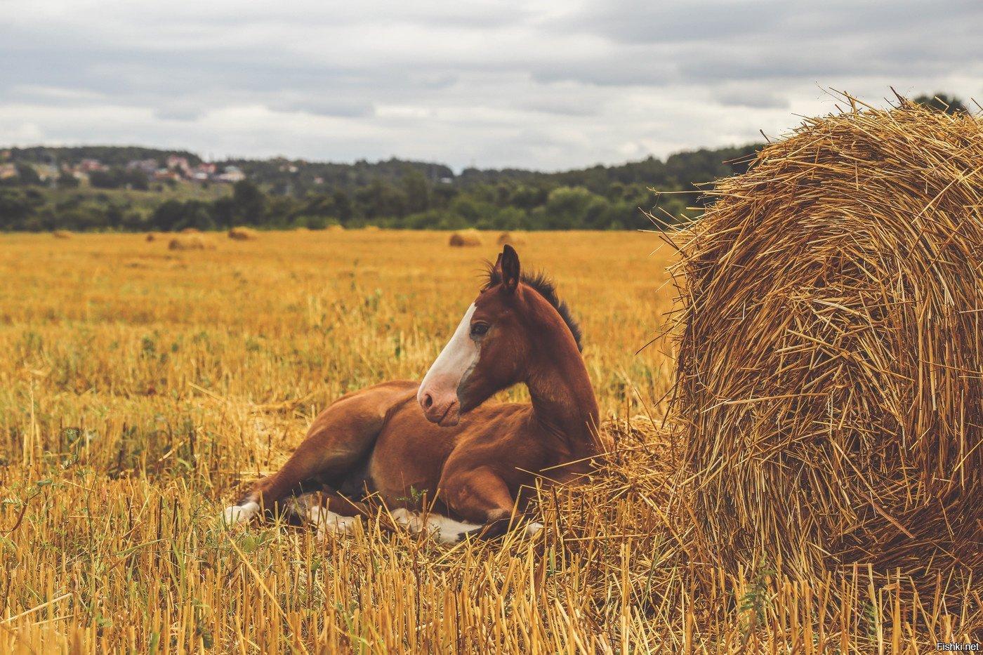 Картинки пасущихся лошадей в поле