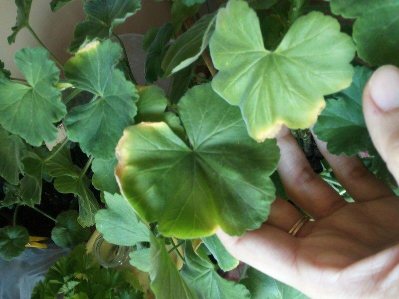 Какспасти герань, если унеежелтеют изасыхают листья (5фото)