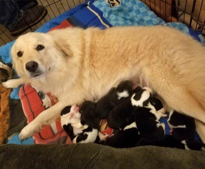Эта собака потеряла своих щенков, но вскоре взяла под свое крыло семерых малышей, которые потеряли маму