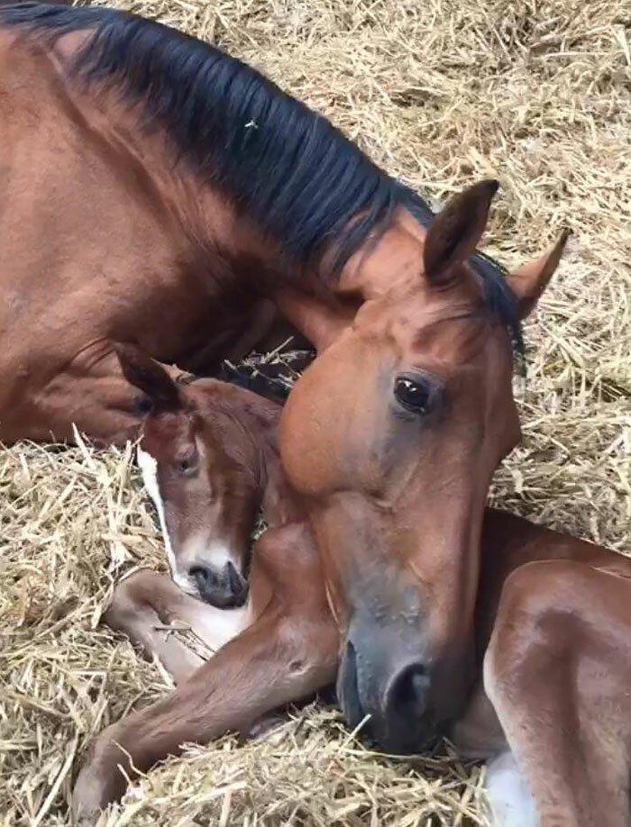 Взрослая лошадь потеряла своего детеныша, а жеребенок - свою мать. Их поместили в одну конюшню. На фото они через час после первой встречи