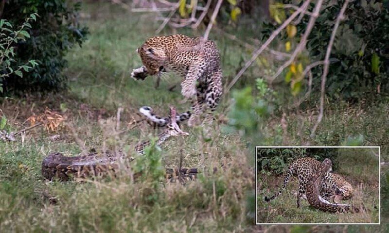 Смертельная схватка: леопард победил питона в жестоком бою