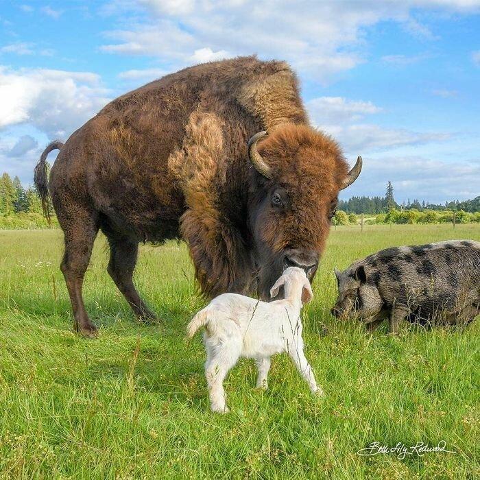 Слепая бизониха нашла друга в приюте