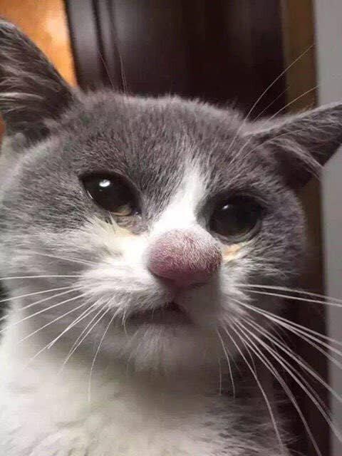 Кот, понюхавший пчелу
