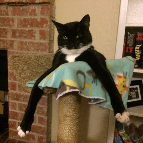 Кот-длинноног или два кота?