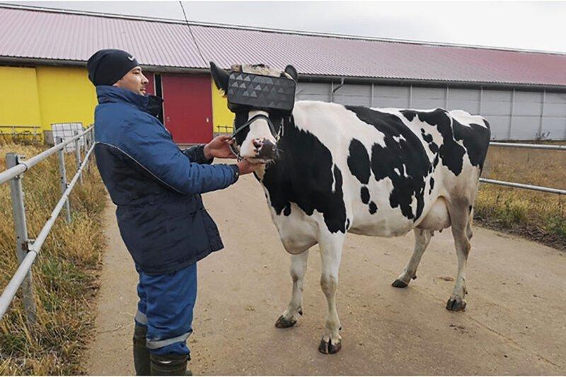 Россияне позавидовали коровам, которым выдали vr-очки для улучшения настроения
