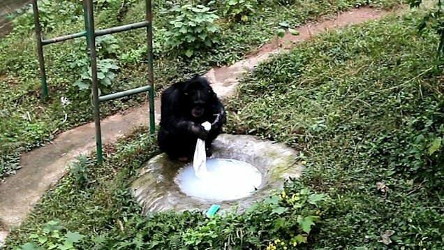 Умный шимпанзе: примат постирал одежду своему смотрителю