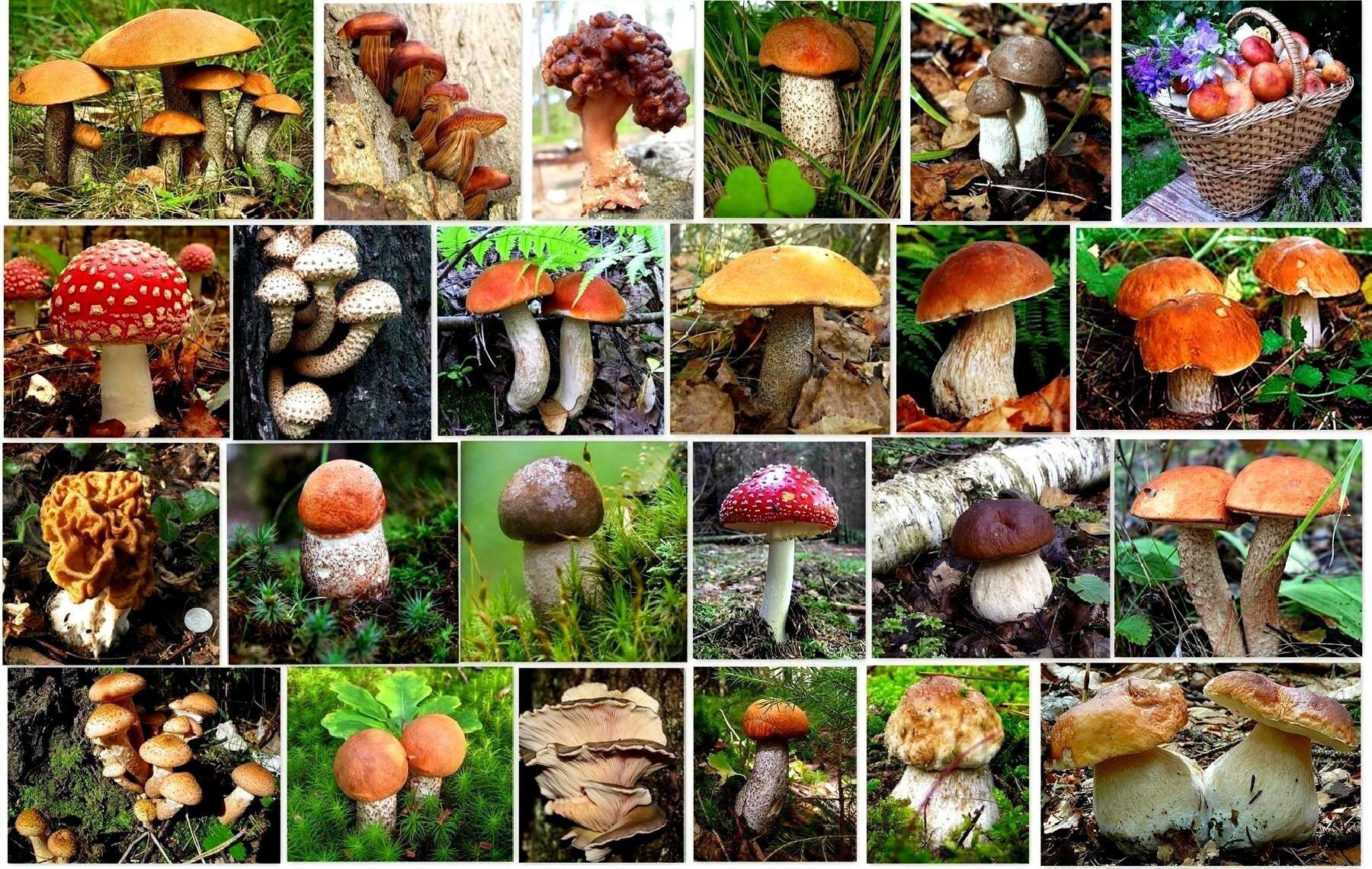 правило, новички показать все съедобные грибы в картинках него