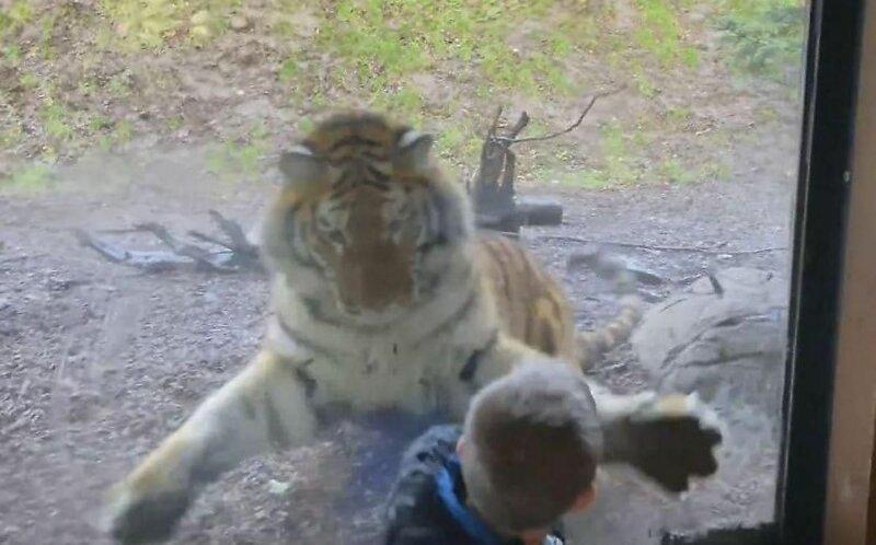 Тигр в зоопарке напал на мальчика через стекло