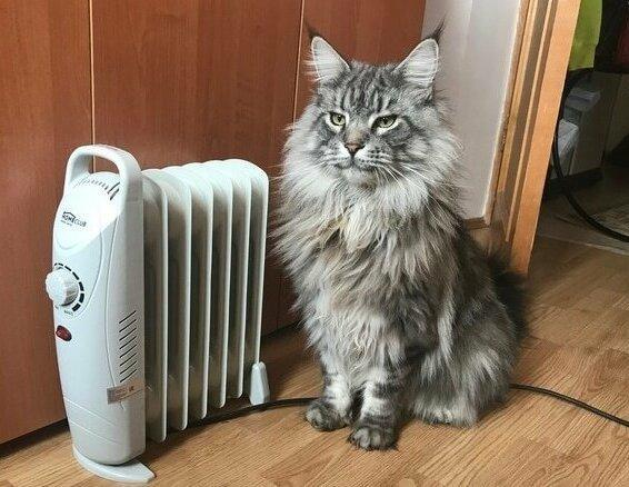 Кот породы мейн-кун и батарея