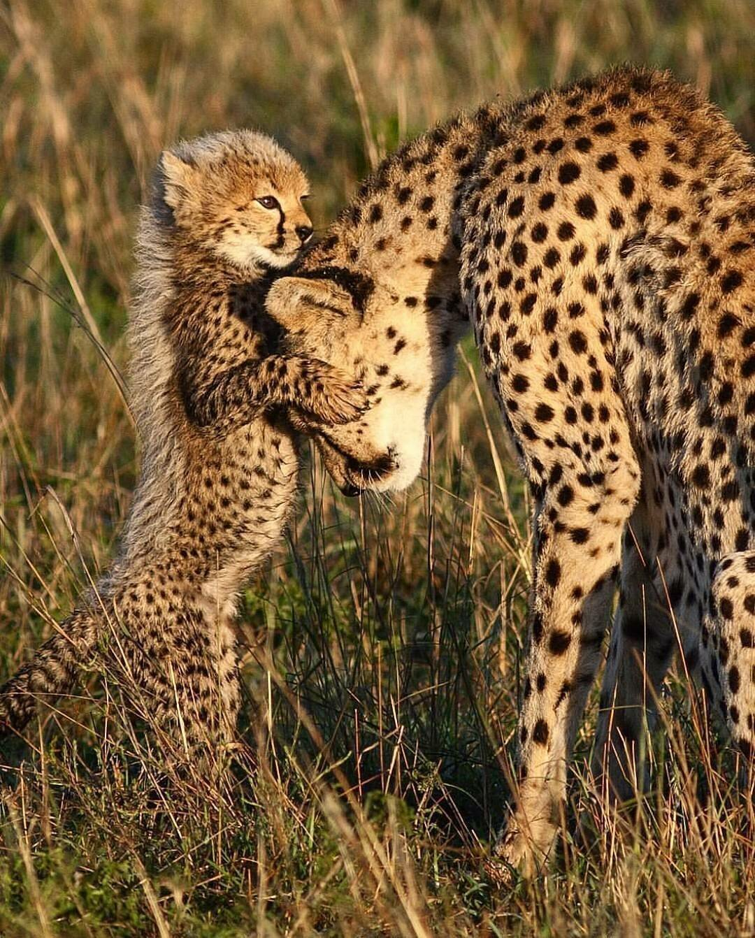 следующем гепард и леопард разница фото сфотографировала, увидела фото