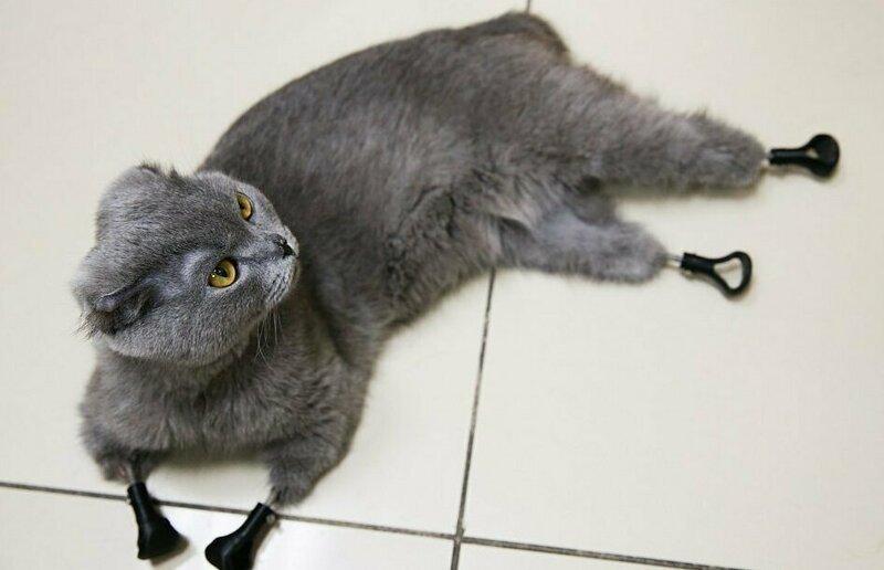 Кошка, отморозившая себе четыре лапы, получила протезы конечностей