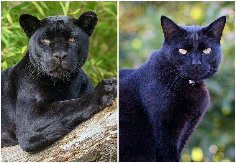 Пантеры - те же котики, только больше!