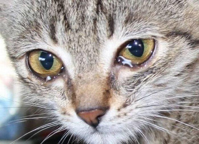 Основные причины слезотечения у кошек