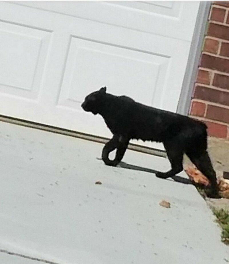 Возле дома заметили вот такую кошку или не кошку?…
