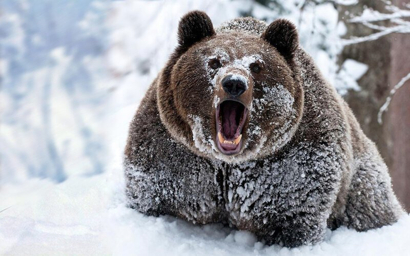 Картинки медведь шатун для детей