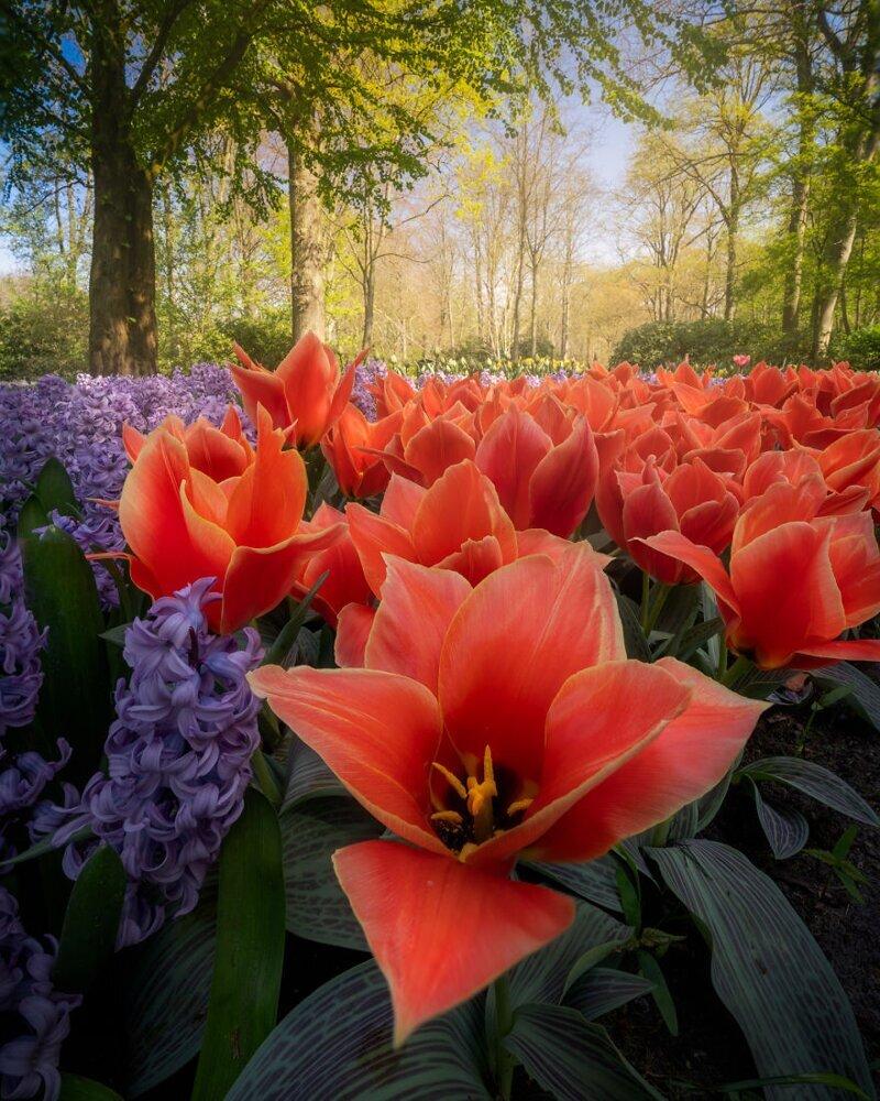 Редкий сорт тюльпанов