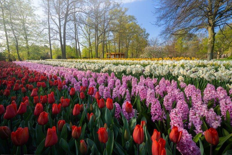 Тюльпаны, гиацианты, нарциссы