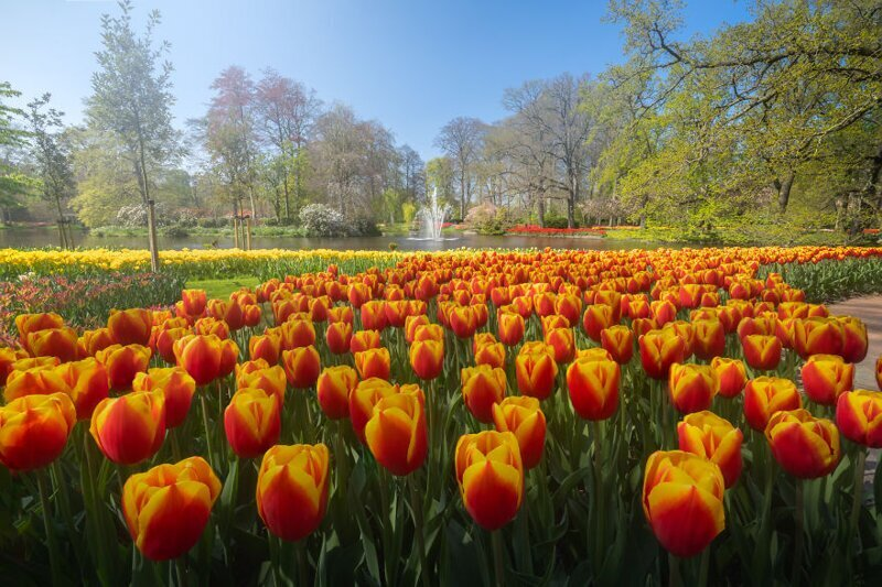 Пруд с фонтаном посередине и море тюльпанов