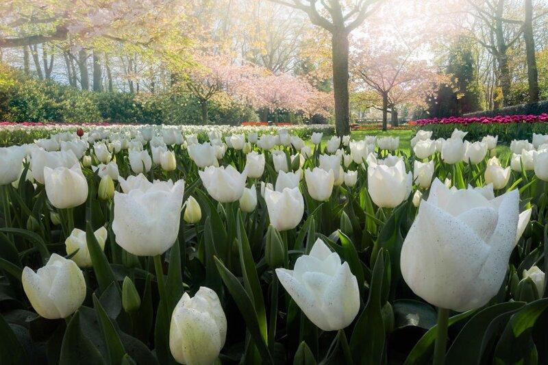Лужайка белых тюльпанов, а над ними - цветущая вишня