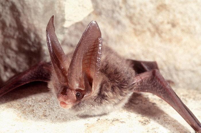 Летучая мышь Corynorhinus rafinesquii