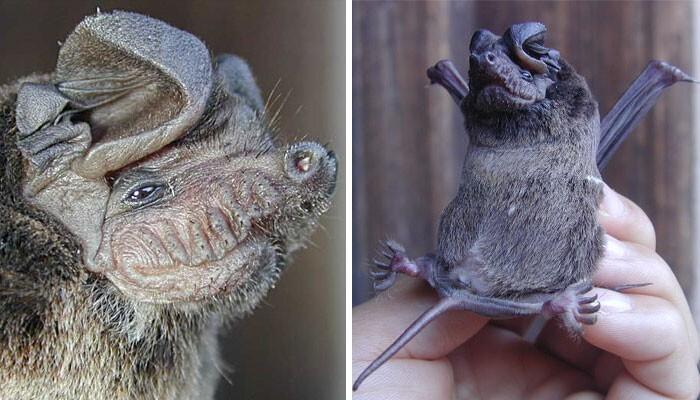Летучая мышь Chaerephon plicata