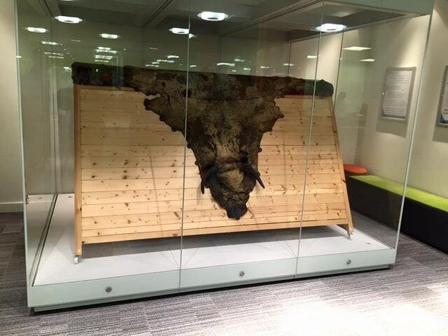 5. Шкура коровы в музее. Из нее была получена вакцина от оспы