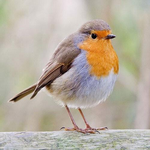 Птицы научились открывать бутылки смолоком ипить его