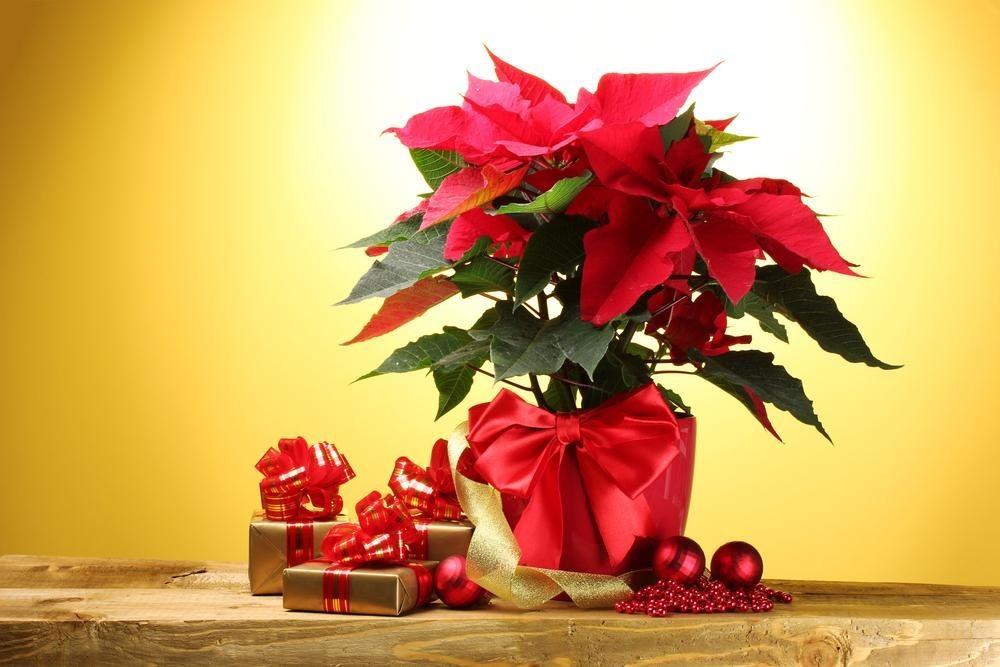 Почему «рождественская звезда» перестает цвести?