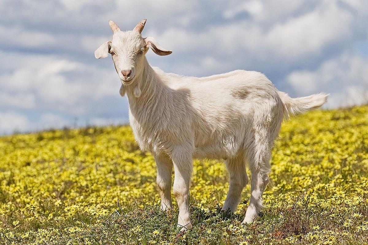 Так Тора позволяет есть млекопитающих, одновременно соответствующих двум признакам, — жвачных и парнокопытных (коз, овец, коров, оленей, косуль)