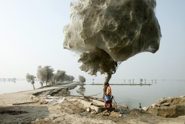 Деревья в паутине после наводнения, Пакистан