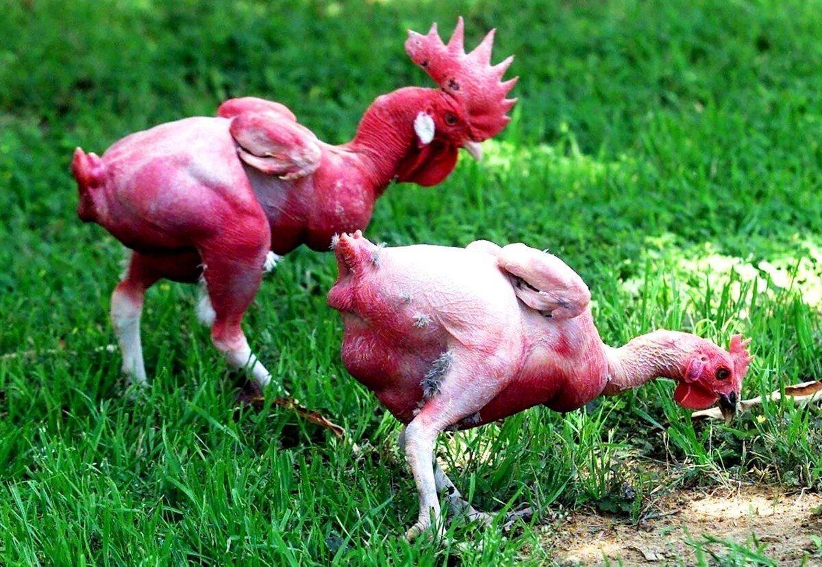Израильская лысая курица: 34 года безумной селекции и вот результат — голенькие курочки